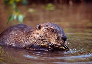 SNH welcomes Scottish Government decision on beaver reintroduction