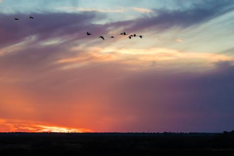 cranes-on-the-prairie-at-sunset-4