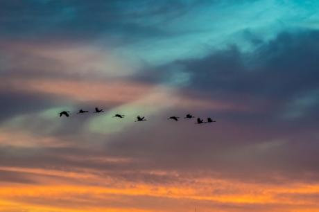 cranes-on-the-prairie-at-sunset