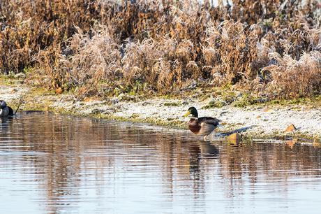 Mallard on the Frozen Floodplain Forest Nature Reserve