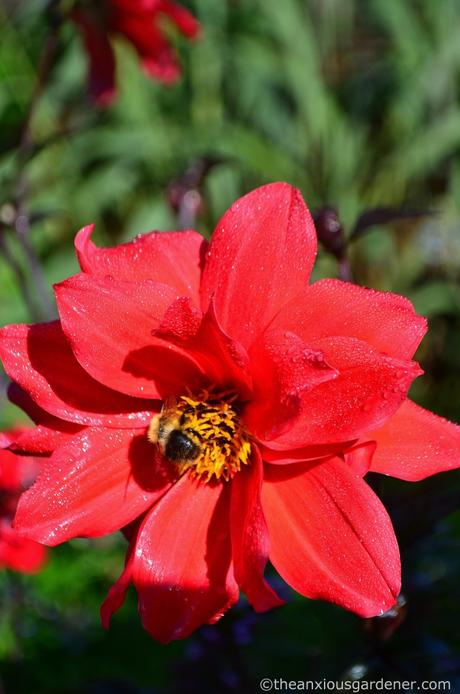 dahlia-bishop-of-llandaff