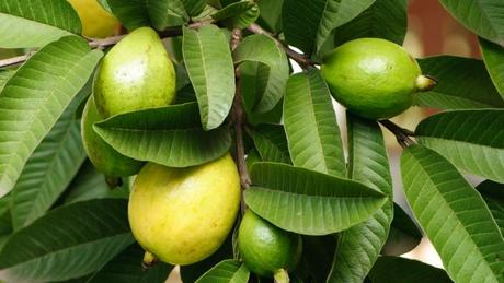 Guava Leaves – the magical medicine for Hair Growth