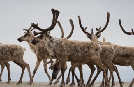 Porcupine Caribou Reindeer