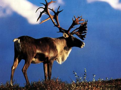 Labrador Caribou Reindeer