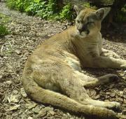 Featured Animal: Cougar
