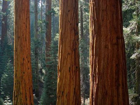 Sequoiadendrongiganteum