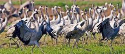 Cranes in Migration