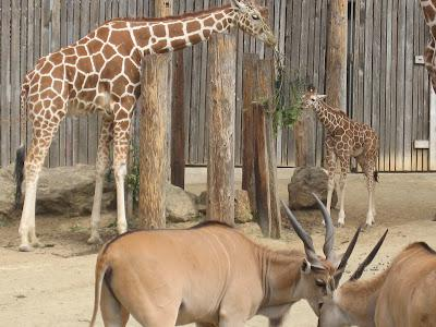 The Oakland Zoo:  New Baby Giraffe!