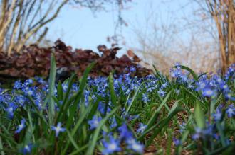 Chionodoxa forbesii (11/03/2012, Kew, London)