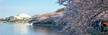 Spring....Summer? D.C Cherry Blossom