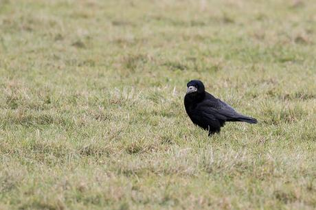 Rook feeding in the fields
