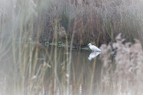 Little Egret through reeds
