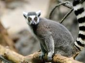 Ring-Tailed Lemur Populations Have Crashed Percent