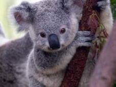 Koalas Fading Away