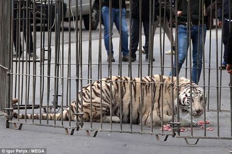 Tiger on prowl on roads !  aborgines taken as exhibits - the human Zoo