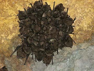 Endangered Indiana bats face twin threat from wind turbines and white-nose syndrome