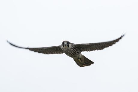 Peregrine Falcon (my favorite photo of the month and one that saw my name in local papers in Milton Keynes and Wiltshire)