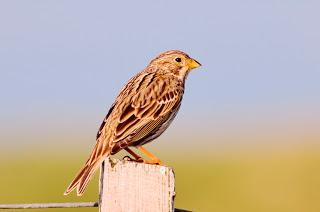 Number of at-risk corn buntings stabilises in NE Scotland