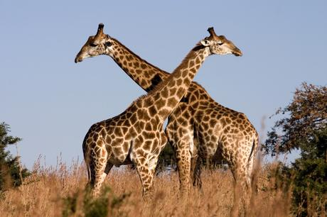 Human habitat destruction is decimating giraffe populations