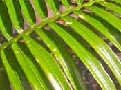 Grow Cycads? Maurice Levin Tell