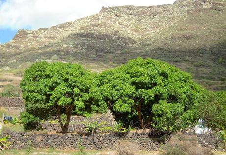 The cold-hardy Gomera-1 Mango Tree