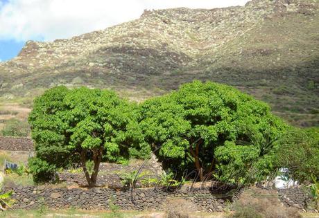The cold-hardy Gomera-1 Mango Tree