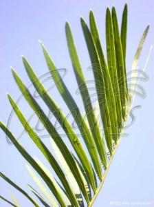 Cycas sp silver leaf