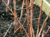 Prune Autumn Fruiting Raspberry Canes