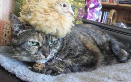 Cat Balancing Chick on Its Head