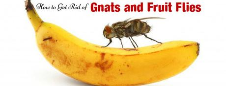 how to get rid of gnats and fruit flies fast and easy paperblog. Black Bedroom Furniture Sets. Home Design Ideas