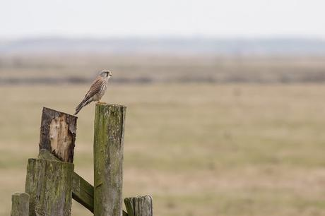 My Image of the Trip - Common Kestrel