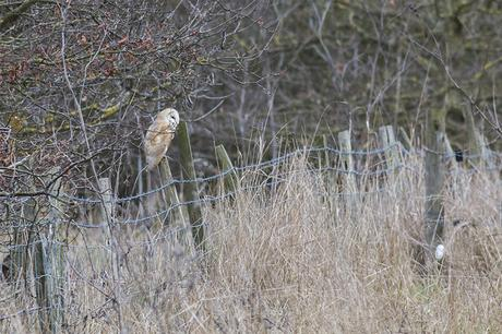 Barn Owl on Fence Post