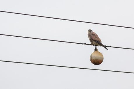 Male Common Kestrel on Wires