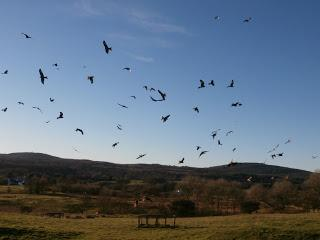 The Wild Side - Red Kites