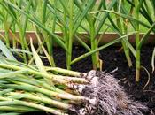 Pick Crop, Choice Garlic Grow