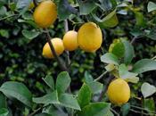 Citrus Feeding Time Again, Folks