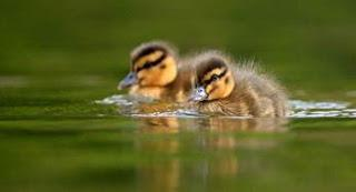 Downy Duckling Days at WWT Wetland Centres this Summer Half Term