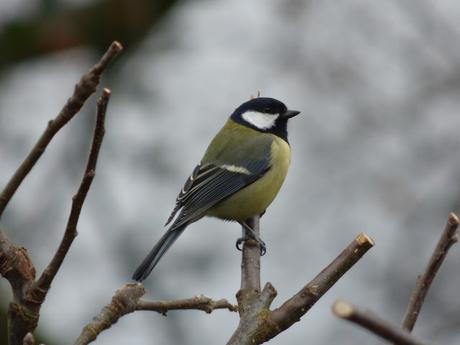 Great Tit perched in pruned apple tree