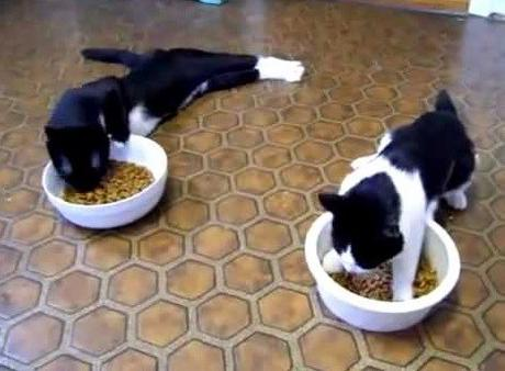 Cats Lazy Eating