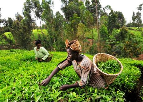 Kenya Tea Production