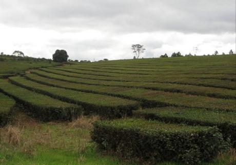 Argentina Tea Production