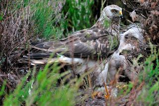 Public asked for sightings of rare hen harriers