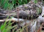 Public Asked Sightings Rare Harriers