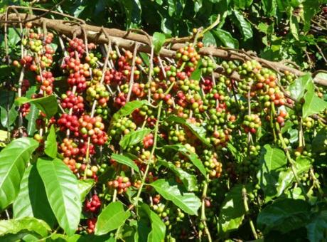 Guatemala Coffee Production