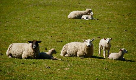 LAMBING SEASON UNDERWAY – HOLD TIGHTLY TREAD LIGHTLY!