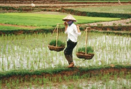 Vietnam Rice Production