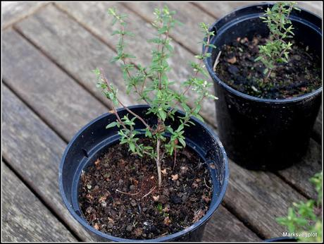 Propagating Thyme