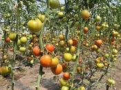 Watering Tomatoes Weather-