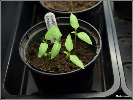 Potting-up Chilli seedlings