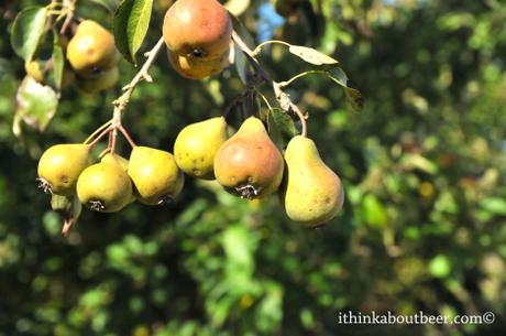 Beer/Cider Photo of the Week: Cider Pears in the Orchards of Eric Bordelet